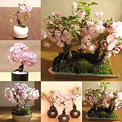 20 Seeds Beautiful Japanese Sakura Flower Cherry Bonsai Tree Rare Garden Seeds