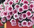 200+ Opera Supreme Raspberry Ice Petunia Seeds - DH Seeds - UPC0742137106377 - Plant Marker Included