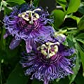 Seeds of Passion Flower - Maypop. Vining Fruit with ethereal blooms! [Passiflora Incarnata, 25+ Seeds]