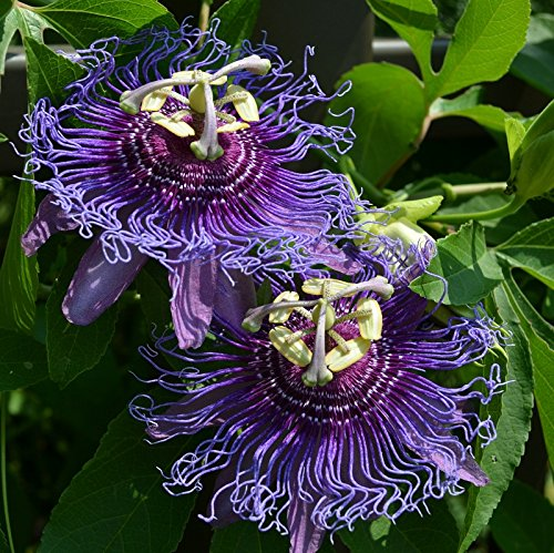 (Seeds of Passion Flower - Maypop. Vining Fruit with ethereal blooms! [Passiflora Incarnata, 25+ Seeds])