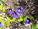Pinguicula Grandiflora ~ Large Flowered Butterwort ~ Carnivorous Plant ~ Rare 10 Seeds ~