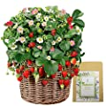 280+ Sweet Strawberry Seeds for Indoor & Garden Planting, Non-GMO Organic Heirloom Fruit Seeds All Seasons Seedable