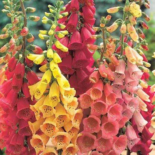 (1000 Seeds MIXED FOXGLOVE Digitalis Purpurea Flower Seeds)