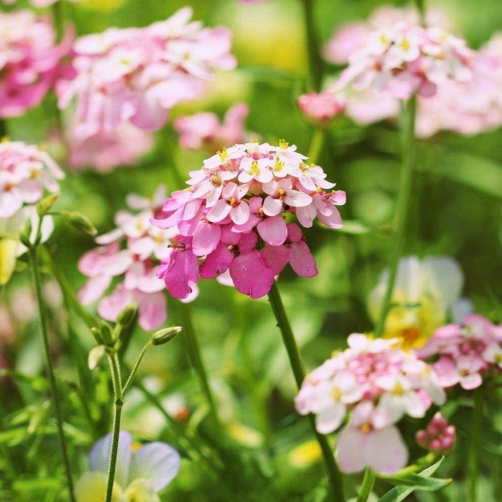 Portal Cool Iberis, Candytuft Red Flash 30 semillas Bloom-2 Meses después de la siembra/fragante /