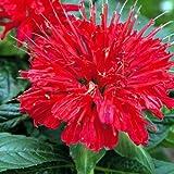 Gardenview Scarlet Bee Balm Perennial - Monarda - Quart Pot