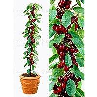20pcs/bag cherry bonsai fruit seeds Sweet Sylvia Upright Cherry Self-fertile Dwarf Tree seeds plant pot home garden