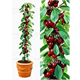20pcs/bag cherry bonsai fruit seeds Sweet Sylvia Upright Cherry Self-fertile Dwarf Tree seeds plant pot home garden