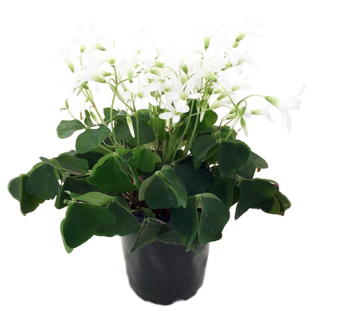 Amazon Green Shamrock Plant White Flowers Oxalis 4 Pot