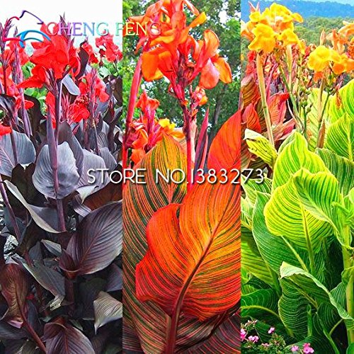 10 Pcs Canna Seeds Beautiful Flower Seed Mix Indica Lily Plants Garden Bulbs Flowers Outdoor Potted Bonsai Flores . Home Gift SVI