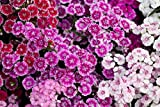 Sweet Yards Seed Co. Sweet William Seeds - Mixed Colors - Extra Large Packet - Over 30,000 Open Pollinated Non-GMO Flower Seeds - Dianthus barbatus