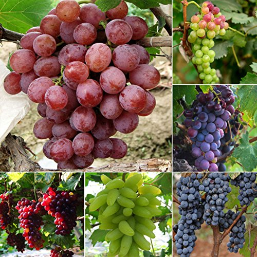 Wintefei 50Pcs Mixed Grapes Seeds Delicious Fresh Fruit Garden Tree Plants Decoration (Grape Seeds For Planting)