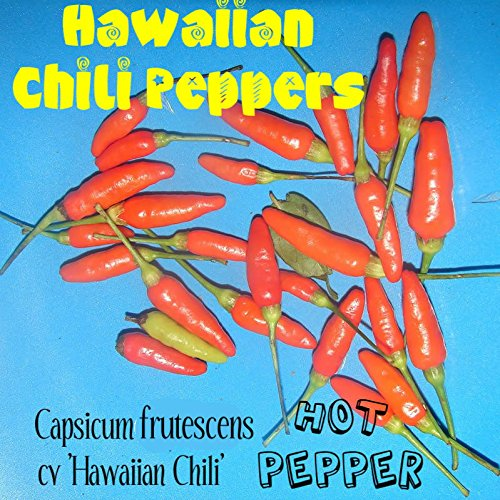 ~HOT HAWAIIAN CHILI PEPPER~ Capsicum frutescens cv Hawaiian Chili 60 Seeds
