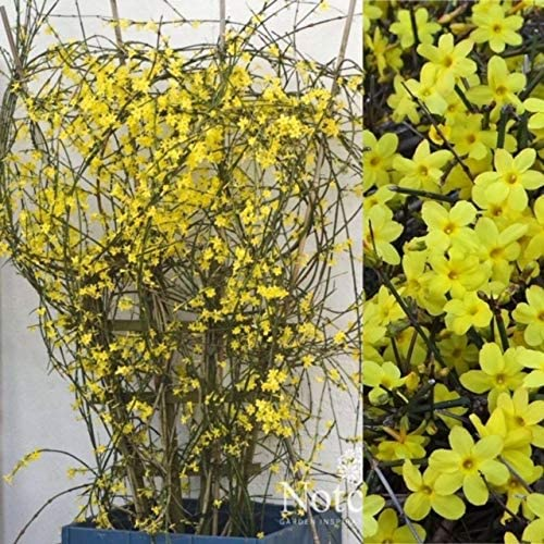Large Plant 60cm Tall Flowering Garden Climber Plant Jasminum Nudiflorum Winter Jasmine