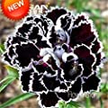 New Fresh Seeds 200 Pcs Black Carnation Seeds Potted Courtyard Garden Plants Seeds Rose Dianthus Caryophyllus Flower Seed,#L6G2L