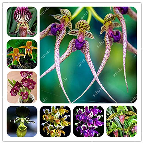 Mix Australian-Style Cypripedium Orchid Seeds, Rare Shape Monkey face Orchid Flower Potted Seeds Garden Courtyard - 100 pcs: -