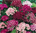 40+ Dianthus Sweet William Mix Flower Seeds / Fragrant Perennial / Easy to Grow