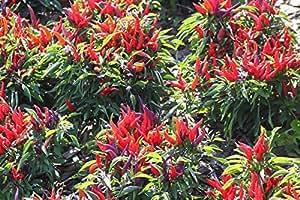 25+ Premium Organically Grown Sangria Pepper Seeds