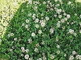 Ladino White Clover Flower Fresh Seeds (10 lb)