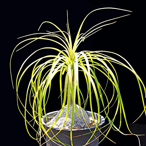 PonyTail Palm - Beaucarnea - Live Elephant Foot Palm Plant (indoor and outdoor!) in 6