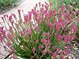 "9EzTropical - Kangaroo Paw Pink - 1 Plants/Bulbs - 8"" Tall - Ship in 3"" Pot"