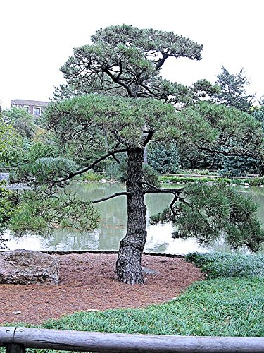 50 Japanese Black Pine Tree Seeds, Pinus Thunbergii