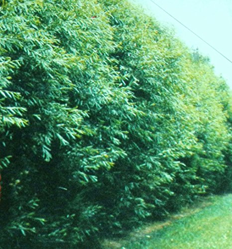 24 Hybrid Willow Trees. Austree grows 12 foot 1st season. Create instant privacy fence hedge