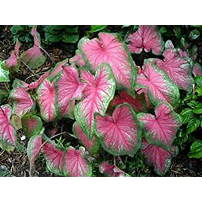 CALADIUM, BULB, PINK, PACK OF 10 (TEN), EASY TO GROW, COLORFUL MIX, HOSTA BULBS : Garden & Outdoor