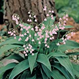 Rare Pink Lily of the Valley 3 Pips (Roots) - Convallaria rosea