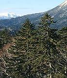 (30 seeds) Picea Jezoensis / Jezo Spruce / Picea yezoensis