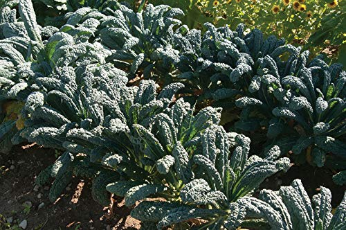 David's Garden Seeds Kale Toscano SL2123 (Green) 500 Non-GMO, Organic, Heirloom Seeds