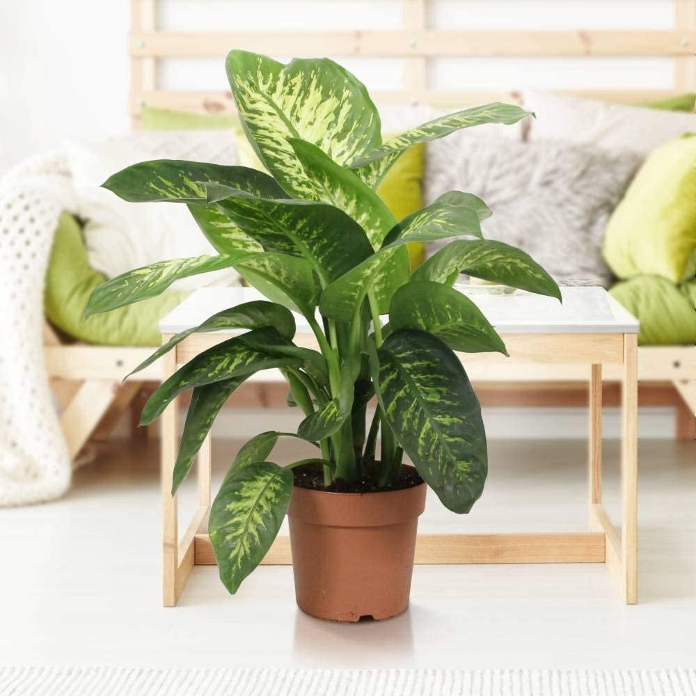 Quality from The Netherlands Green is/® Live Indoor Plant in Growerspot Diameter 21 cm Height 80 cm Dieffenbachia Tropic Snow Fresh from The Grower
