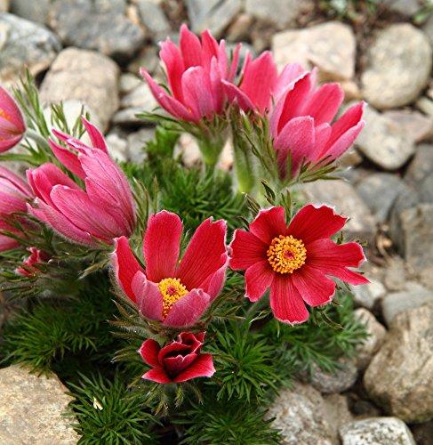 (Red Pasque Flower seeds - Anemone pulsatilla)