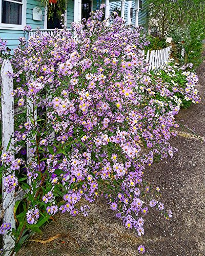 Purple Asters, a fine art photograph of lovely and airy purple asters reaching through a white picket fence in front of an old blue Colonial (Colonial Fence)