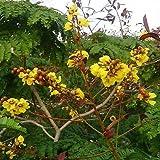 Peltophorum pterocarpum | Copperpod | Golden Yellow Flamboyant | 10_Seeds