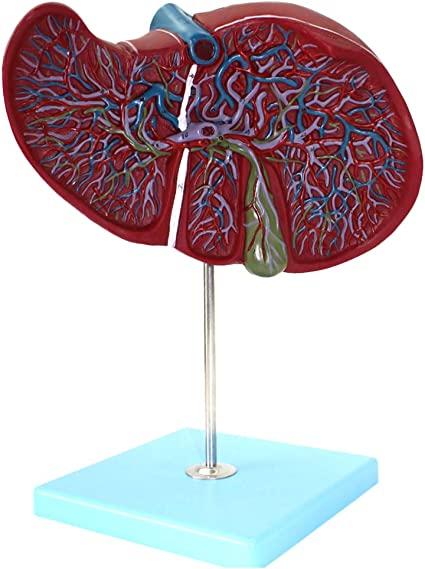 AKAKK.Human Modelo del Cuerpo Humano Hígado Vesícula biliar ...
