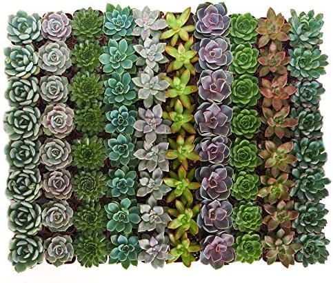 Shop Succulents | Radiant Rosette Collection of Live Succulent Plants, Hand Selected Variety Pack of Mini Succulents | Collection of 256