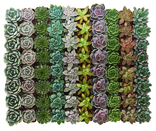 Shop Succulents Rosette Succulent (Collection of 40)