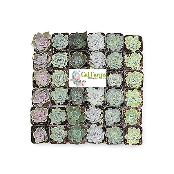 CAL Farms 2″ Rosettes Succulents – for Weddings, Private Parties, Gifts, Party Favors, Gardening and Special Events (Pack of 36)