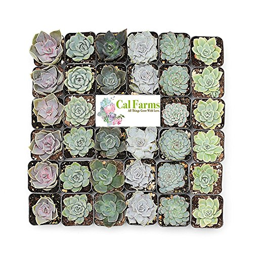 "Seeds Baby Favor Shower (CAL Farms 2"" Rosettes Succulents - for Weddings, Private Parties, Gifts, Party Favors, Gardening and Special Events (Pack of 36))"