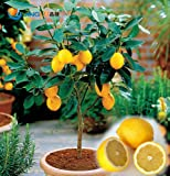 100 Pcs / Bag, Lemon Seeds, Balcony Patio Potted Fruit Trees Planted Seeds For Sale