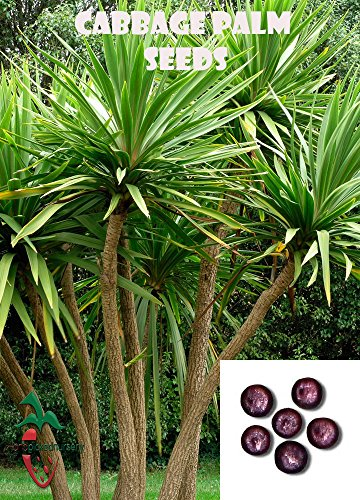 25 Cabbage Palm seeds, ( Sabal palmetto ) from Hand Picked Nursery ()