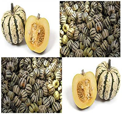 10 SWEET DUMPLING Squash seeds Winter ORANGE Sweet & Tasty colorful acorn shaped
