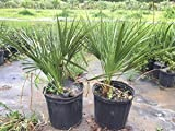 Chamaerops Humilis European Fan/mediterranean Fan Palm 3 gallon