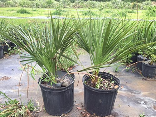 Chamaerops Humilis European Fan/mediterranean Fan Palm 3 - Fan Palm Mediterranean