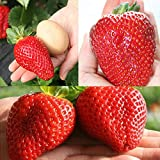 Giant Japan Strawberry Seeds, Pathonor 100Pcs Giant Red Strawberry Organic Seeds Garden