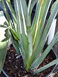 1 Well Rooted Giant Bird Of Paradise (Orange or White Flowers available) - 24 to 36 Inches Tall -m76