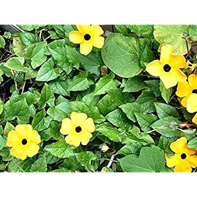 Organic Climbing Flowers Seeds Black-Eyed Susan Vine (Thunbergia alata) Yellow. : Garden & Outdoor