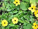 Organic Climbing Flowers Seeds Black-Eyed Susan Vine (Thunbergia alata) Yellow.