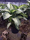 PlantVine Dieffenbachia Amoena 'Tropic Snow', Dumb Cane - Large - 8-10 Inch Pot (3 Gallon), Live Plant