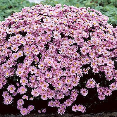 Aster Wood Pink - 9